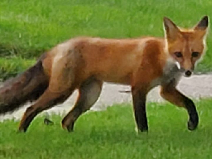 A good photograph of a suburban red fox, a question on Illinois fish advisories, the number of Illinois tree squirrel species and a Downstate black bear are among the notes from around Chicago outdoors.